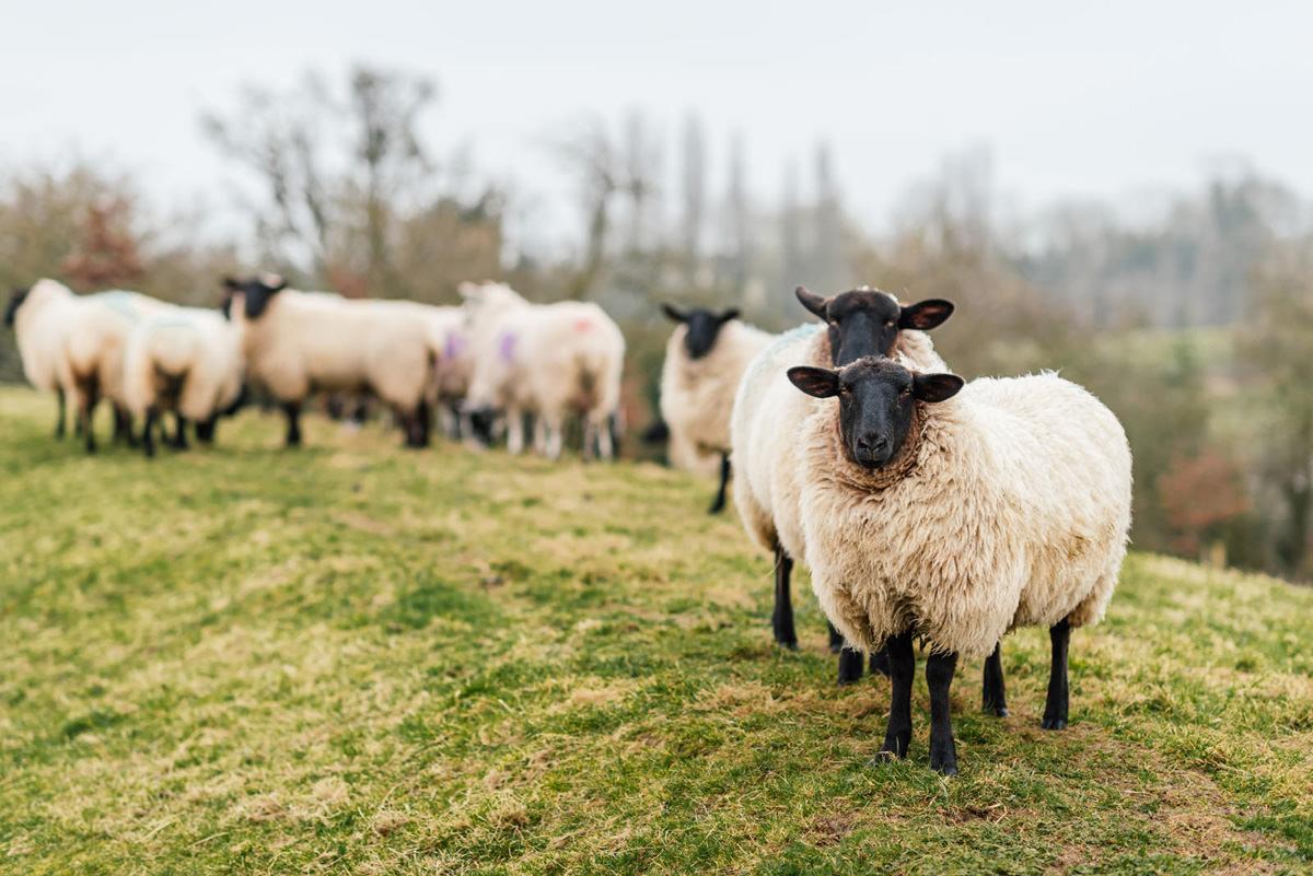 Dodford Manor lambs