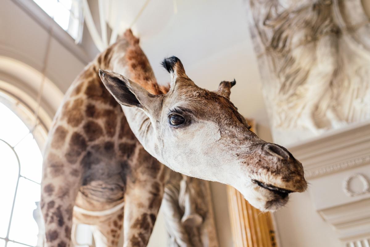 Stuffed giraffe at Aynhoe Park