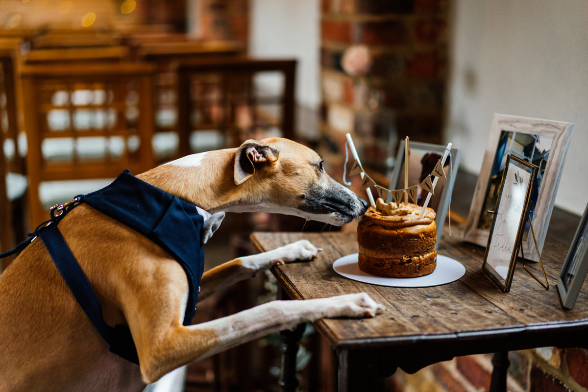 Freddie the whippet checking out his birthday cake
